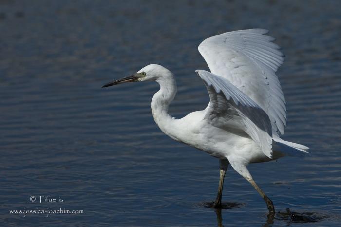 Aigrette garzette-Réserve ornithologique du Teich 16.08.2014