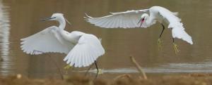 Aigrette garzette-Domaine des oiseaux 20.12.2014