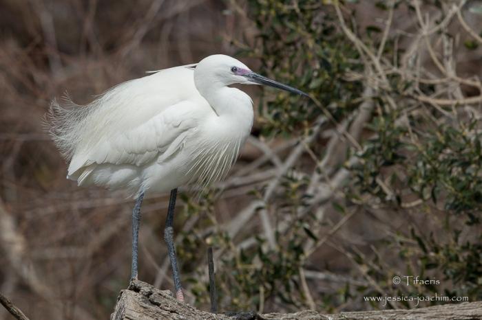 Aigrette garzette-Parc ornithologique de pont de Gau 08.03.2015
