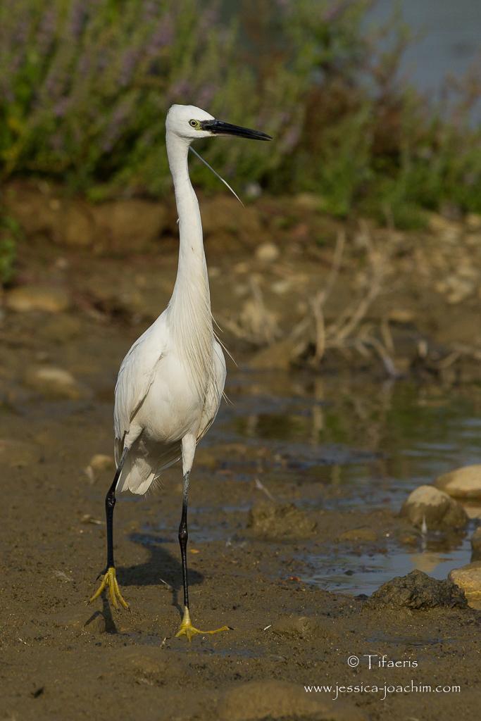 Aigrette garzette-Domaine des oiseaux 18.07.2015