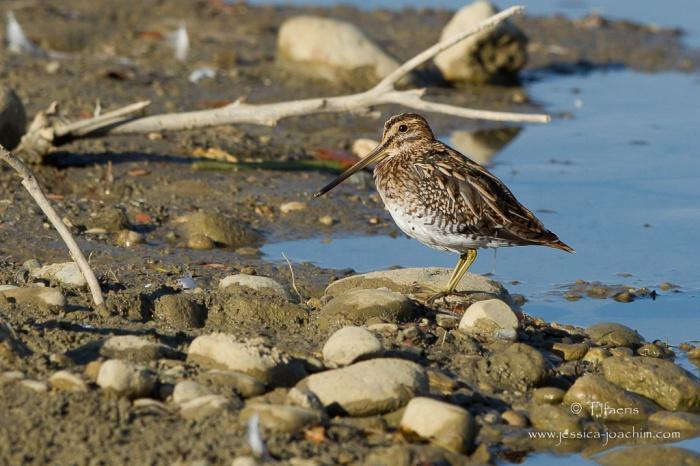 Bécassine des marais-Domaine des oiseaux 17.10.2015