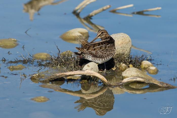 Bécassine des marais-Domaine des oiseaux 16.07.2016