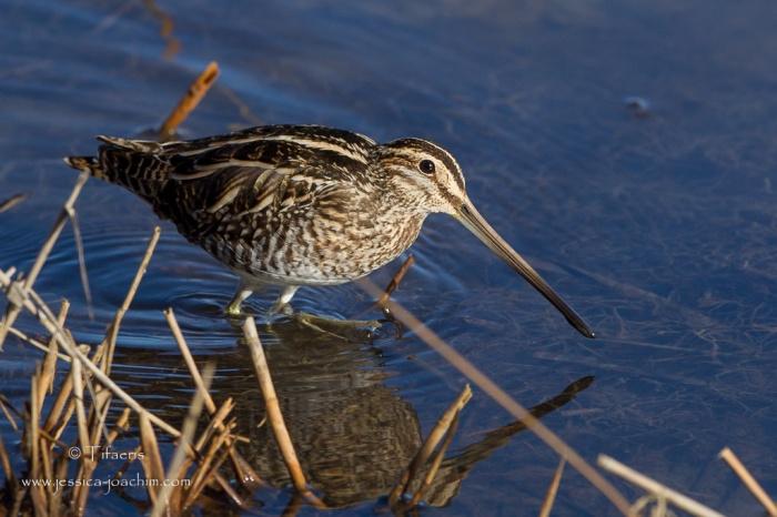 Bécassine des marais-Réserve ornithologique du Teich 21-22.02.2015