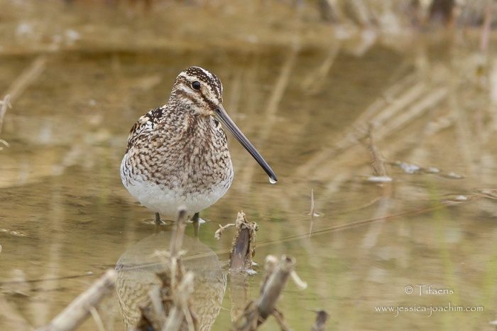 Bécassine des marais-Domaine des oiseaux 15.03.2015