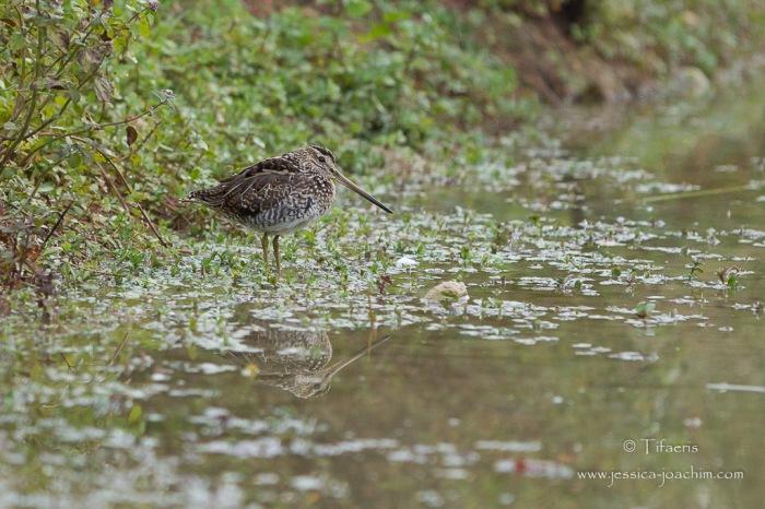 Bécassine des marais-Domaine des oiseaux 04.10.2015