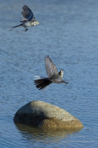 Bergeronnette grise-Domaine des oiseaux 11.11.2014