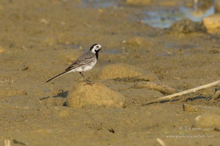 Bergeronnette grise-Domaine des oiseaux 18.07.2015