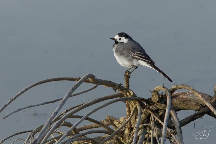 Bergeronnette grise-Domaine des oiseaux 27.03.2016