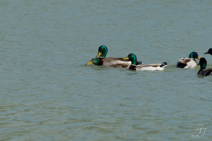 Canard colvert-Domaine des oiseaux 28.05.2016