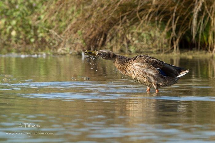 Canard colvert-Domaine des oiseaux 31.08.2014