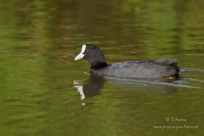 Foulque macroule-Réserve ornithologique du Teich 16.08.2014