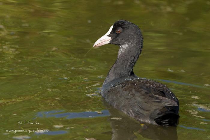Foulque macroule-Réserve ornithologique du Teich 17.08.2014