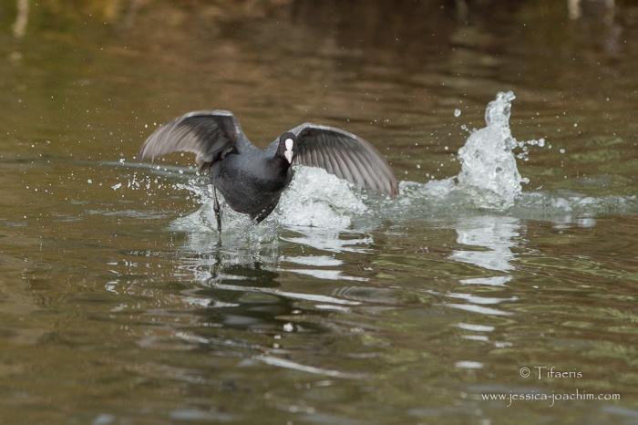 Foulque macroule-Réserve ornithologique du Teich 21-22.02.2015