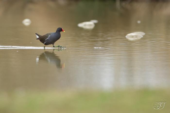 Gallinule poule d'eau - DDO 26.02.2017