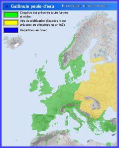 Gallinule poule-deau