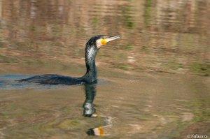 Grand cormoran 6