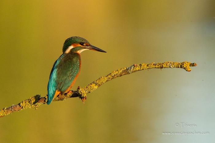 Martin-pêcheur d'Europe-Domaine des oiseaux 31.08.2014