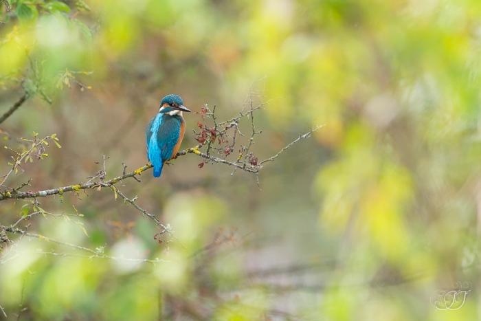Martin-pêcheur d'Europe-Domaine des oiseaux 17.09.2016
