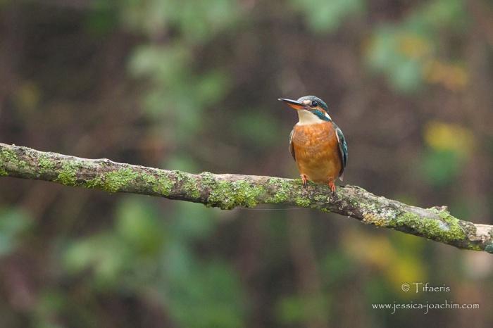Martin pêcheur d'Europe-Domaine des oiseaux 11.11.2015