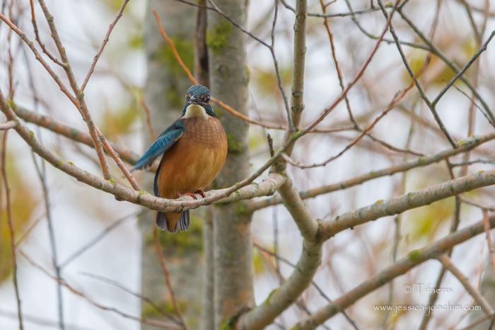 Martin-pêcheur d'Europe-Domaine des oiseaux 28.11.2015