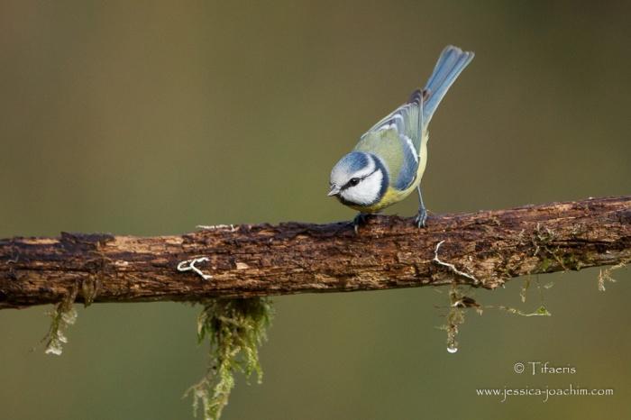 Mésange bleue-Domaine des oiseaux 21.11.2015