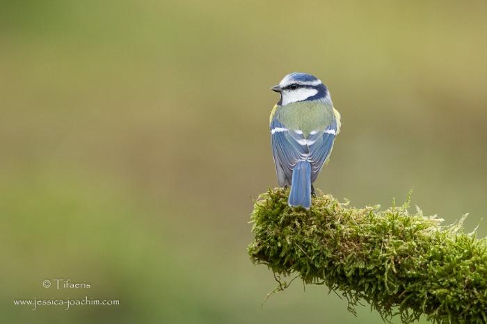 Mésange bleue-Domaine des oiseaux 08.11.2015