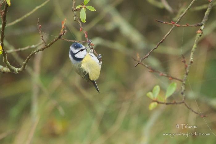 Mésange bleue-Domaine des oiseaux 11.11.2015
