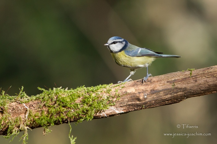 Mésange bleue-Domaine des oiseaux 22.11.2015