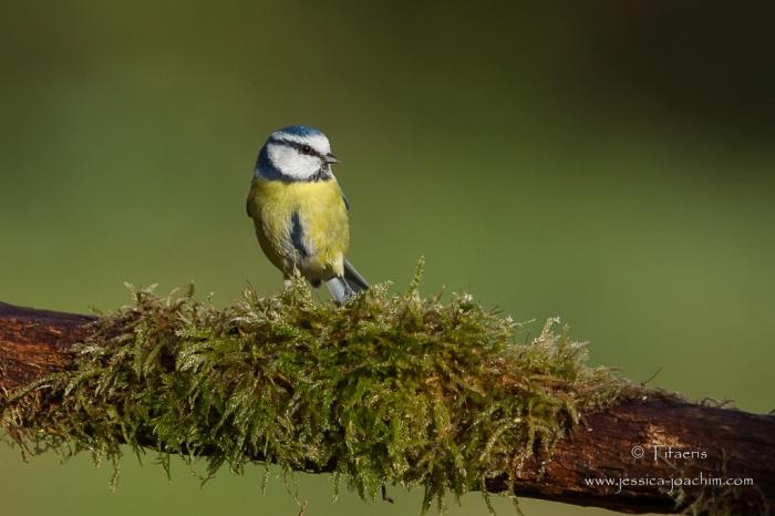 Mésange bleue-Domaine des oiseaux 28.11.2015