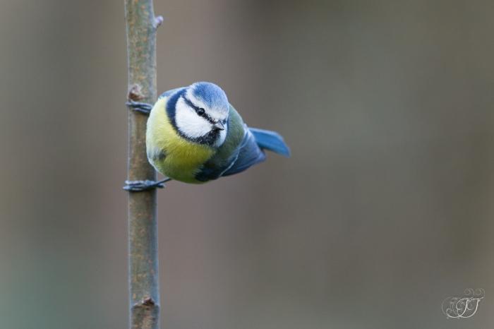 Mésange bleue-Domaine des oiseaux 16.01.2016