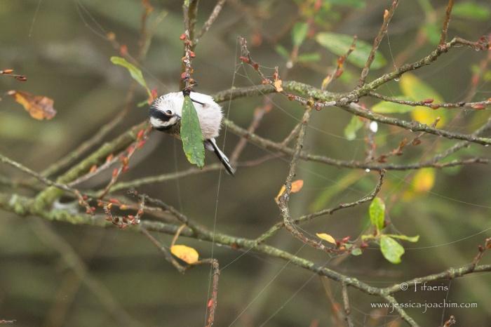 Mésange à longue queue-Domaine des oiseaux 11.11.2015