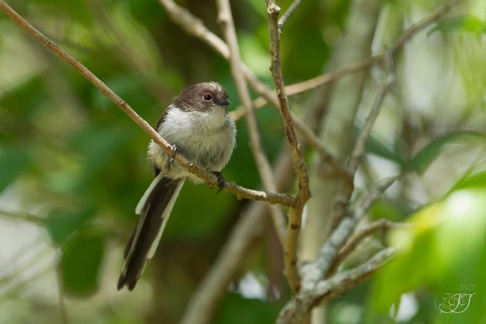Mésange à longue queuee-Réserve ornithologique du Teich 05.06.2015