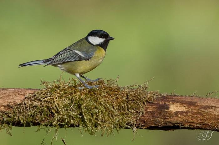 Mésange charbonnière-Domaine des oiseaux 24.01.2016