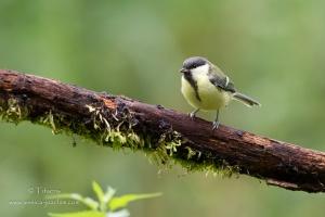 Mésange charbonnière-Domaine des oiseaux 14.06.2015