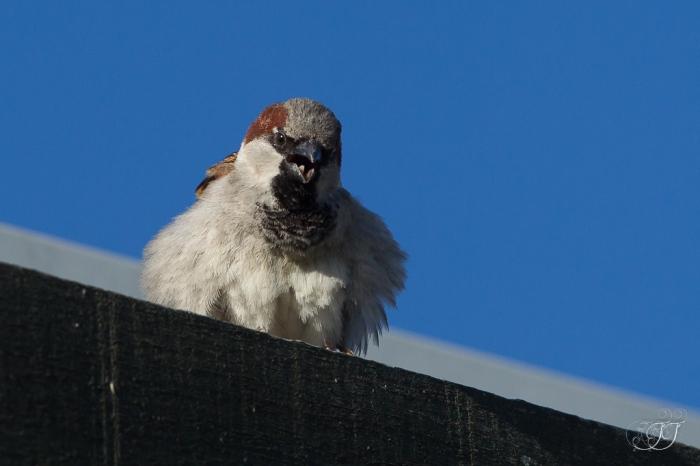 Moineau domestiquee-Réserve ornithologique du Teich 05.06.2015