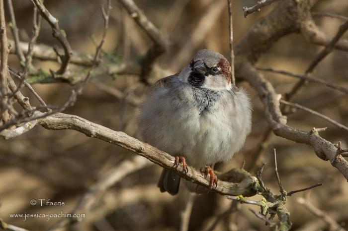 Moineau domestique-Parc ornithologique de pont de Gau 08.03.2015