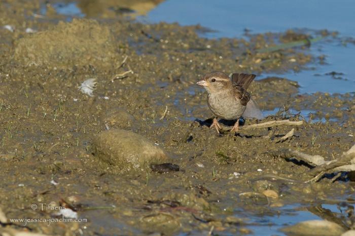 Moineau domestique-Domaine des oiseaux 26.07.2015