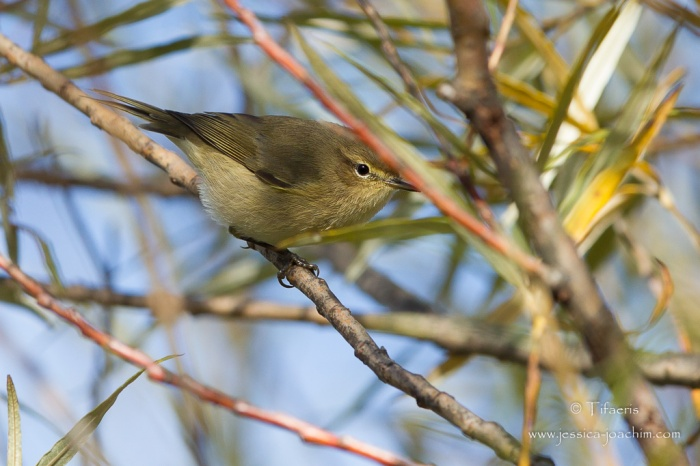 Pouillot véloce-Domaine des oiseaux 17.10.2015
