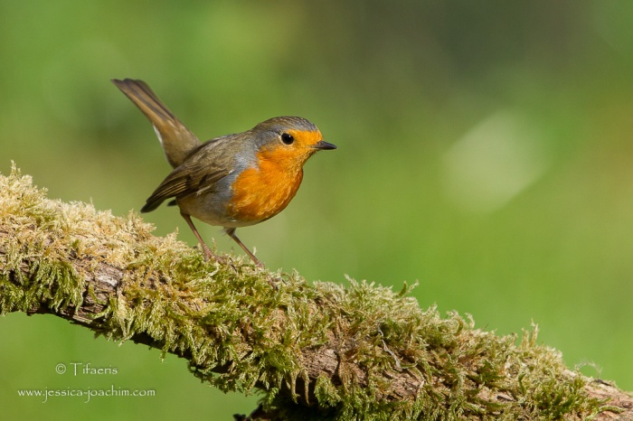 Rougegorge familier-Domaine des oiseaux 22.11.2015