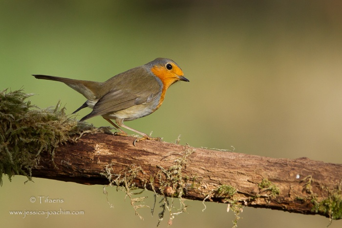 Rougegorge familierPic épeiche-Domaine des oiseaux 29.11.2015