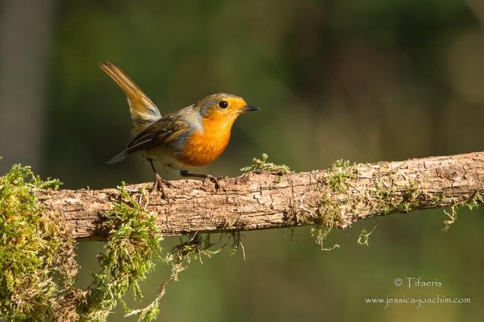 Rougegorge familier-Domaine des oiseaux 07.11.2015