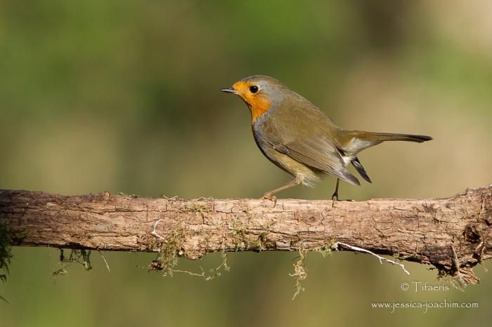 Rougegorge familier-Domaine des oiseaux 11.11.2015