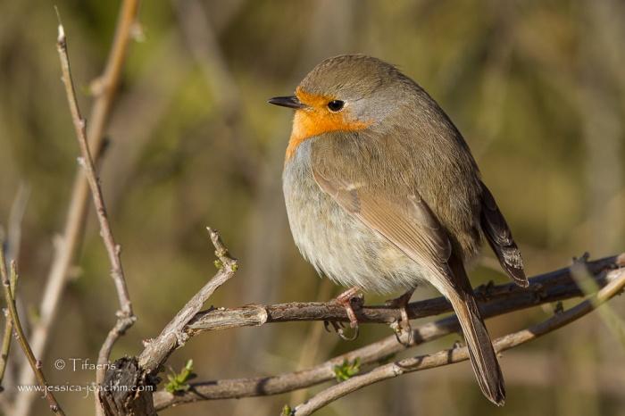 Rougegorge familier-Réserve ornithologique du Teich 21-22.02.2015