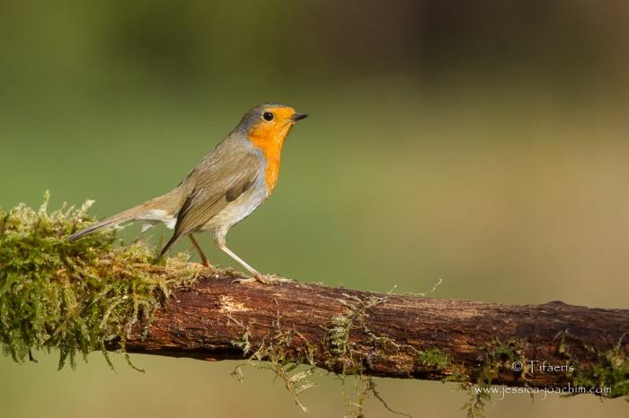 Rougegorge familier-Domaine des oiseaux 28.11.2015
