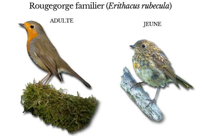 rougegorge-familier
