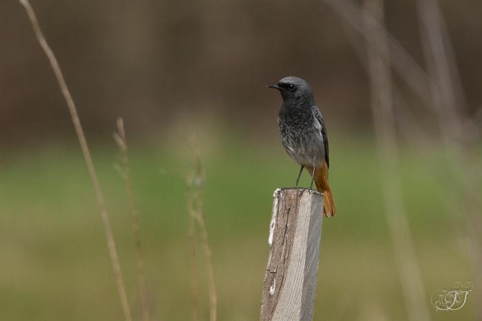 Rougequeue noir-Domaine des oiseaux 13.03.2016