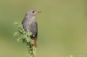 Pass riformes m sanges fauvettes bergeronnettes for Oiseau longue queue ventre jaune