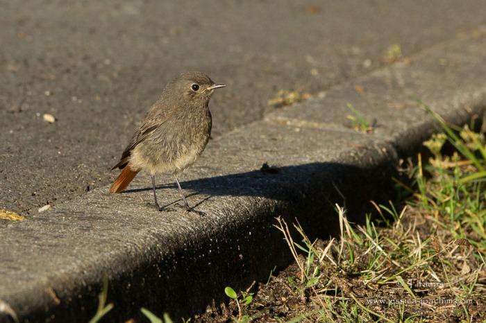 Rougequeue noir-Réserve ornithologique du Teich 16.08.2014