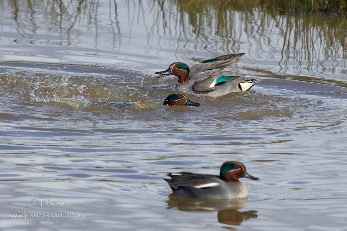Sarcelle d'hiver-Réserve ornithologique du Teich 21-22.02.2015