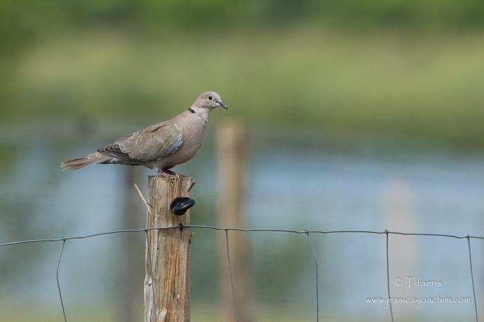 Tourterelle turque-Domaine des oiseaux 13.06.2015